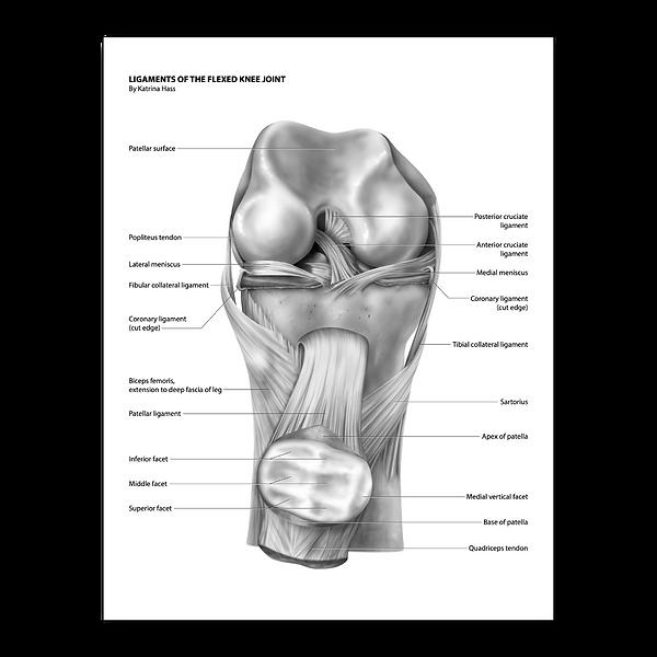 ligaments knee joint katrina hass illustration medical anatomy art