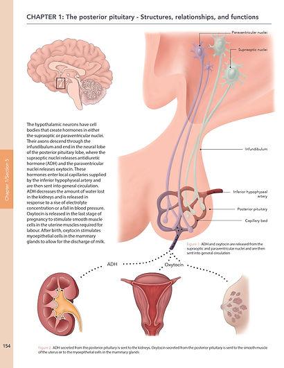 pituitary gland illustration katrina hass