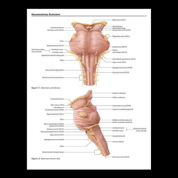 brainstem neuroanatomy illustration art katrina hass visuals