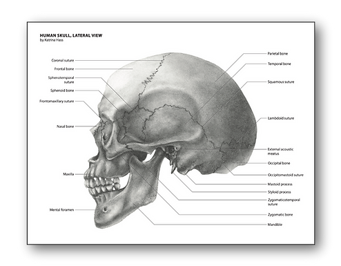 carbon dust skull black and white katrina hass pencil traditional art science anatomy