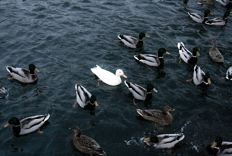 Ducks - and a white duck