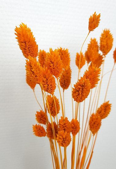 Phalaris orange