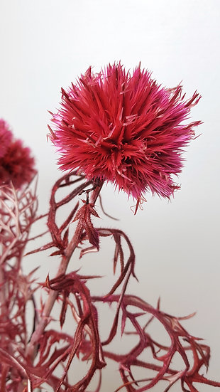 Chardon stabilisé rose