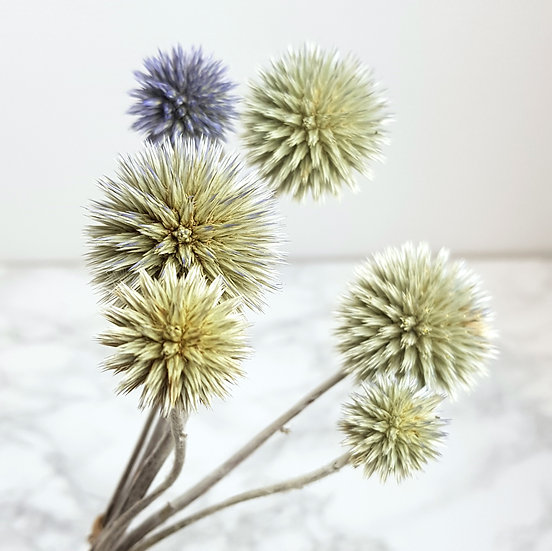 Chardon echinops naturel