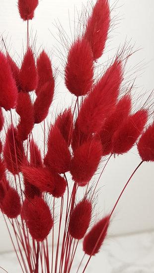 Lagurus rouge