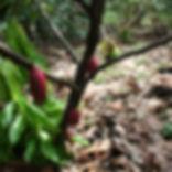 Vaicacao Cacao Tree.JPG