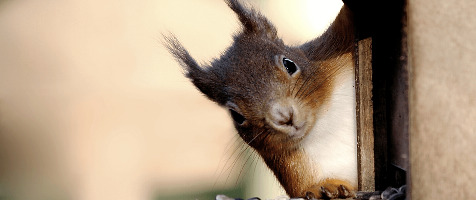 Cheeky red squirrel.png