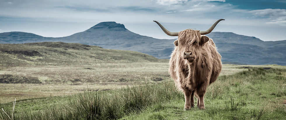 Highland Cow mascot.png