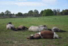 Horses relaxing.JPG