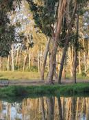 Eucalyptus in Baywood