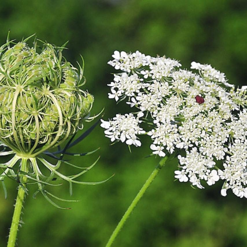 Fleur de carotte (Dille)
