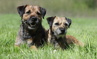 border-terrier-picture-1024x622.jpeg