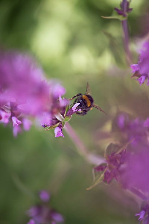 Bee on flower... Digital File