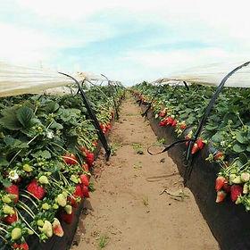 مزارع الفراولة بالمغرب