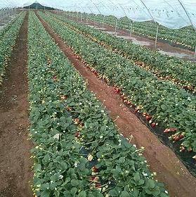 زراعة الفراولة بالمغرب