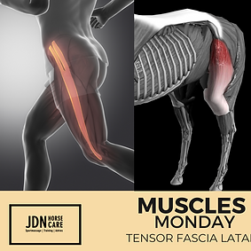 Monday Muscles Tensor Fascia Latae.png