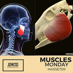 Monday Muscles Masseter.png