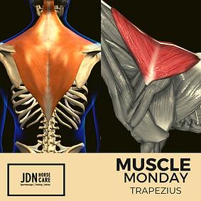 Monday Muscles trapezius.png