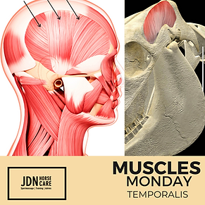 Monday Muscles Temporalis.png