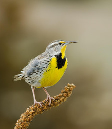 TheSong of the Meadowlark Helps to Define Edgemoor