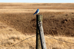 Bluebirds Can be found in Edgemoor Every summer