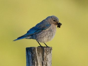 Bluebird preparing to feed its young