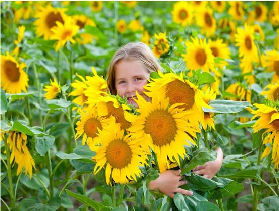 Where Sunflowers Grow