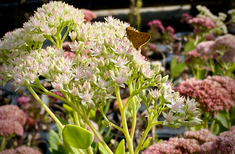 Autumn Joy Sedum is wonderful for pollinators... we have a wide sedum selection for you!