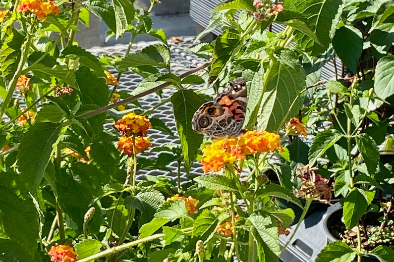 A range of lantana options still left (with Vanessa butterfly visitor!)