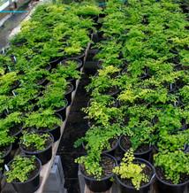 We've got a couple of varieties of Maidenhair Fern growing.