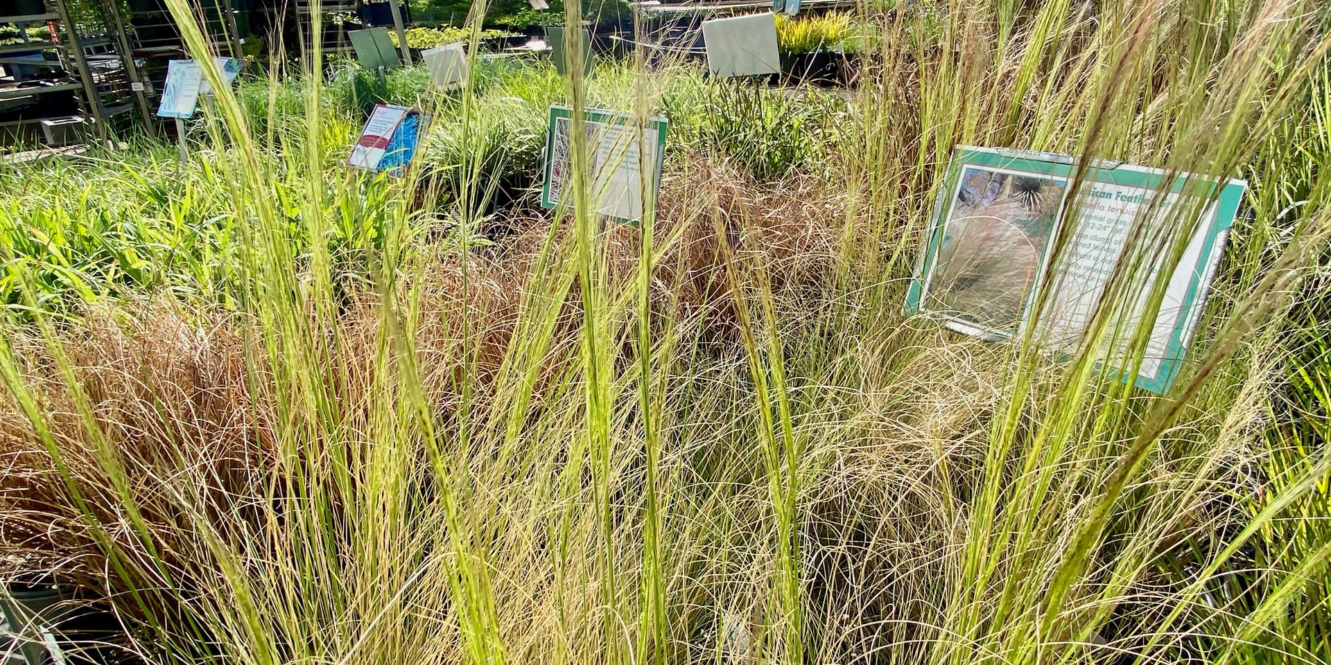 Some gorgeous perennial grass options this season!