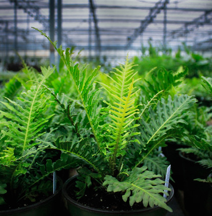 Austin's Favorite, Tree Ferns