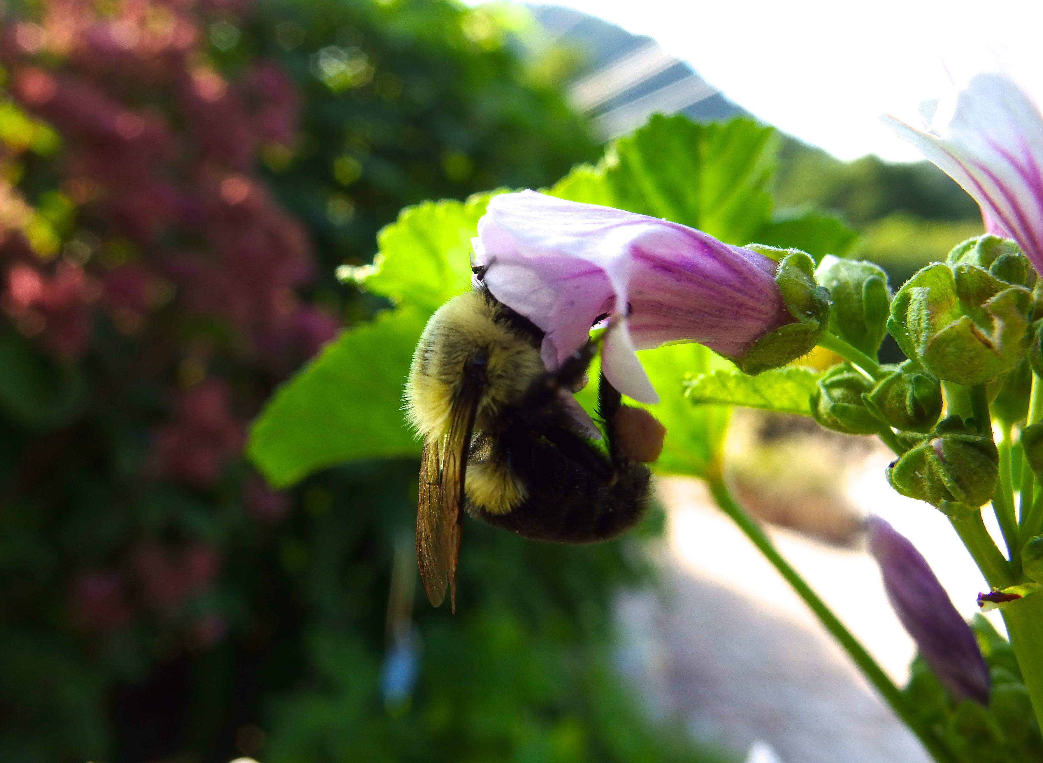 Bumblebee Feeding.JPG