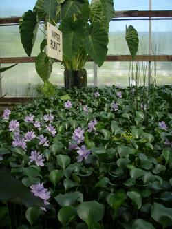 Blooming Hyacinth.JPG