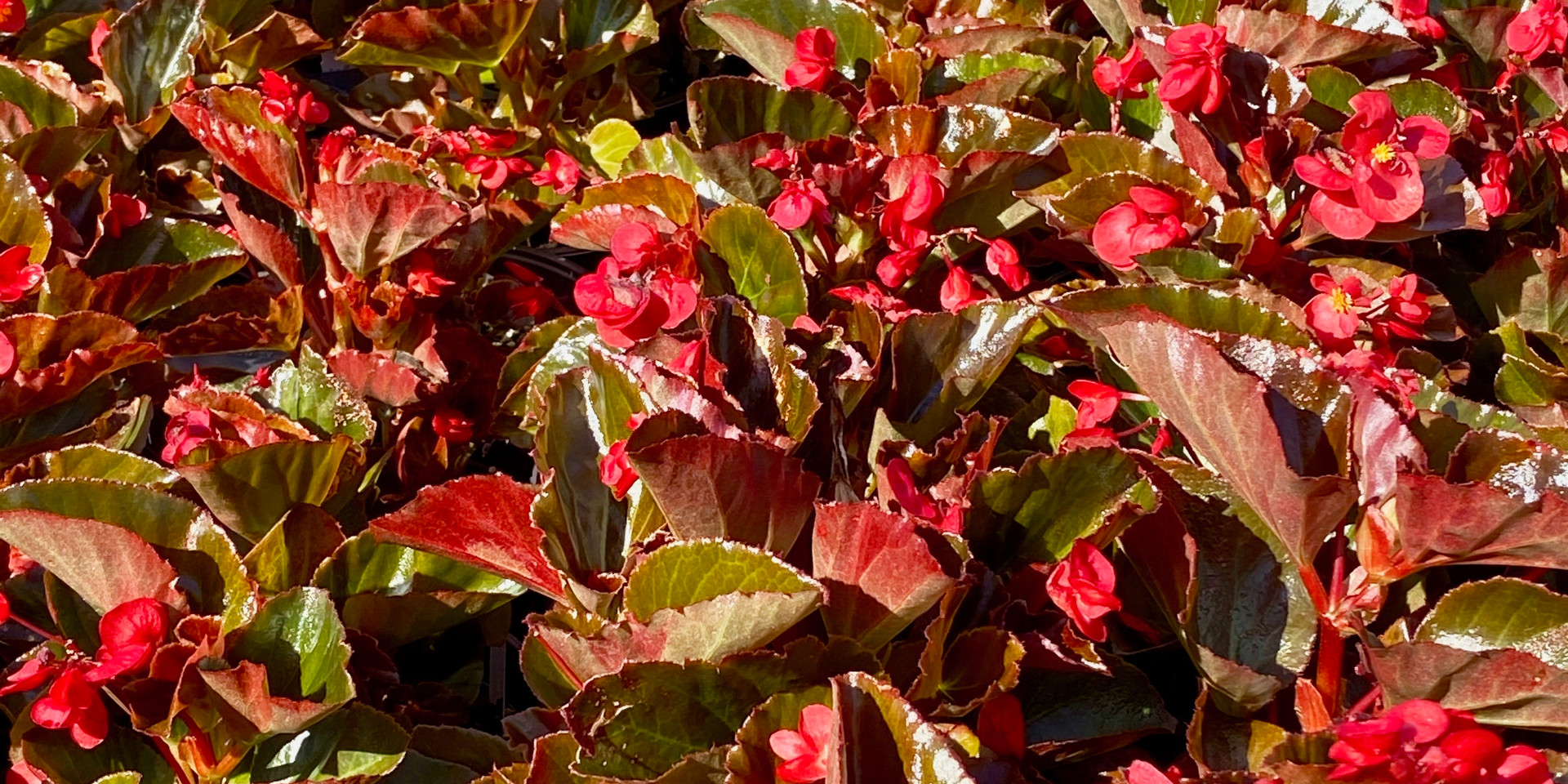 Lots of lovely Big Red or Big Pink begonias - very low maintenance!