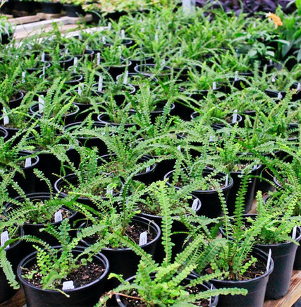 Lemon Button Ferns are an easy houseplant fern.