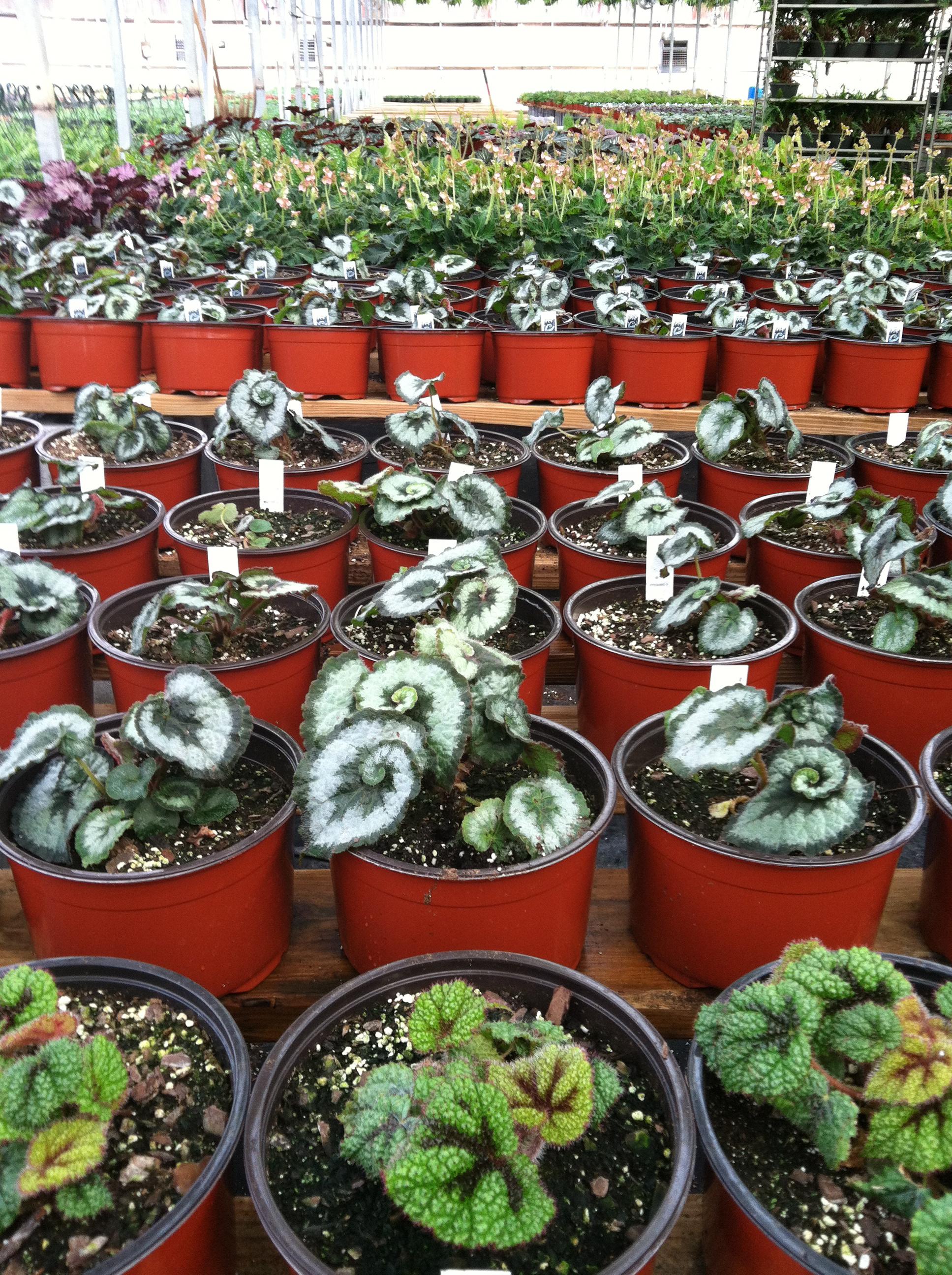 Mixed Begonias.JPG