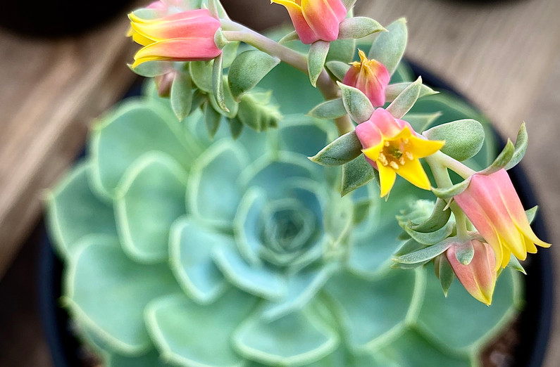 Echeveria in bloom