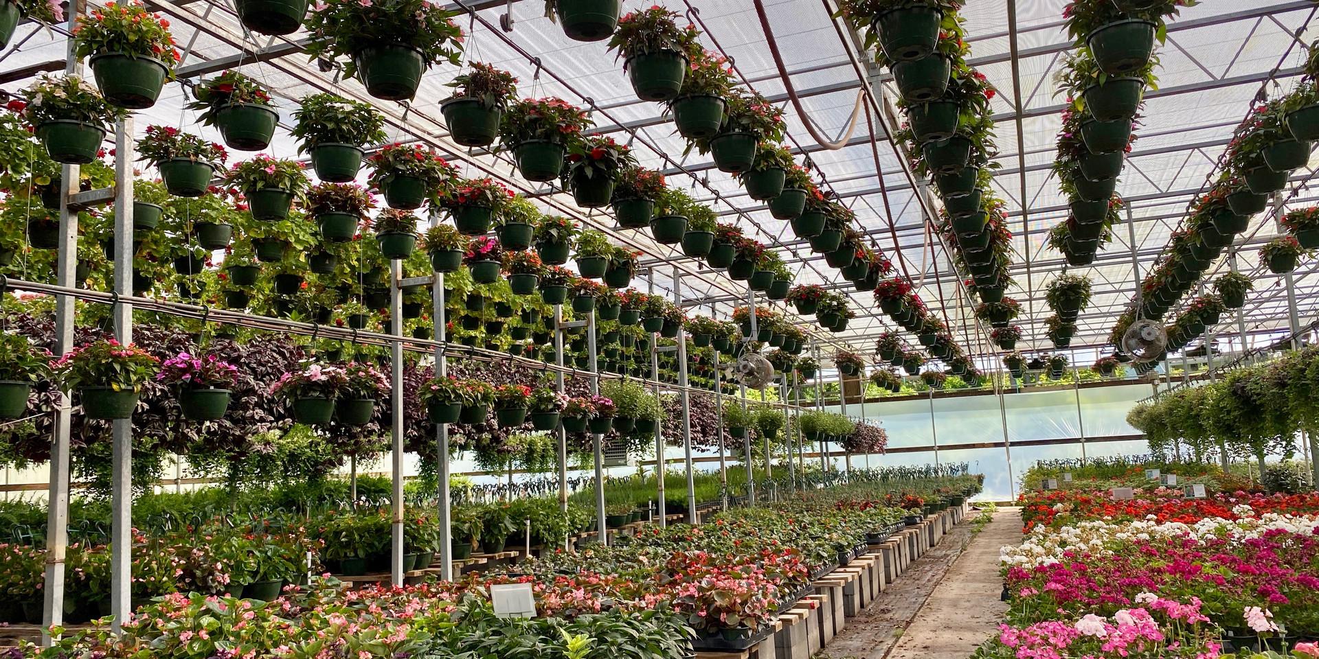 Purple Passion, Heliotrope, Shrimp Plant, Geraniums...