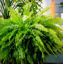 Caroline has fallen madly in love with Boston Ferns this summer.