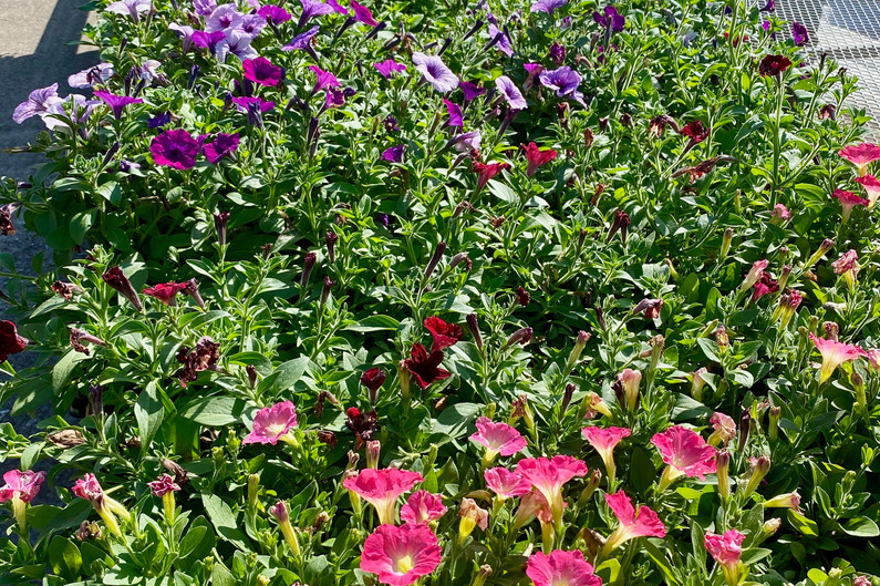 Lovely seed grown petunias - $10/flat of 18!