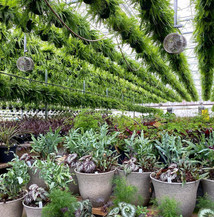 We sell over 4,000 Boston Ferns every spring.
