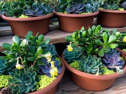 succulent combos