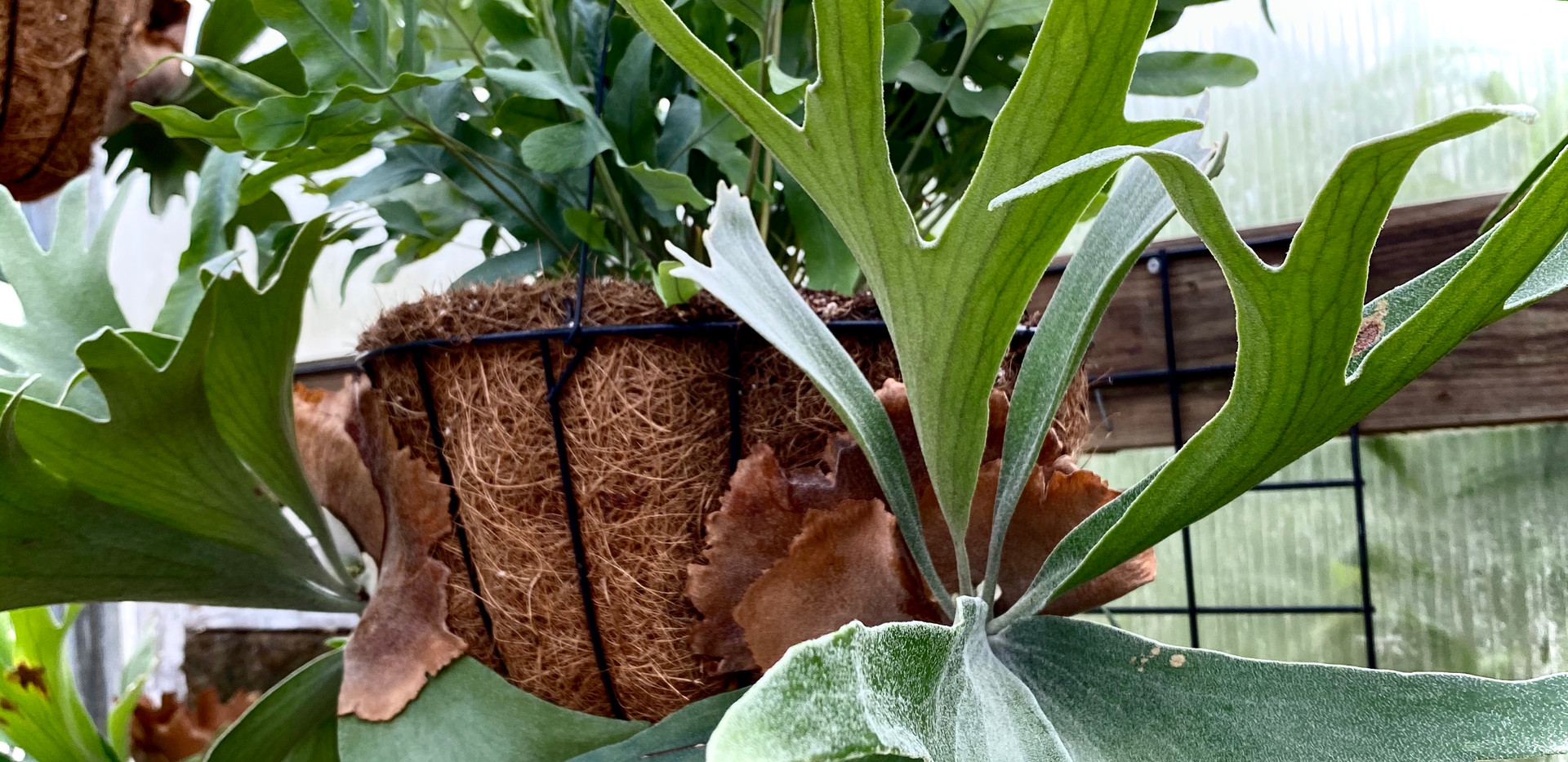 Staghorn baskets are looking fine!