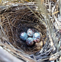 Stunning eggs Dana found in some of our perennial grasses.