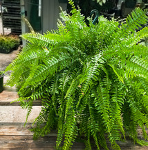 We start them from plugs in July and grown them for over nine months in our greenhouse before you take them home.  On the left is a recently potted Boston Fern plug for next spring, on the right is a Boston Fern purchased by a staff member in April.