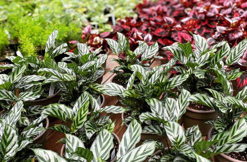 Calathea Freddie, Red Robin Rex Begonia & more!