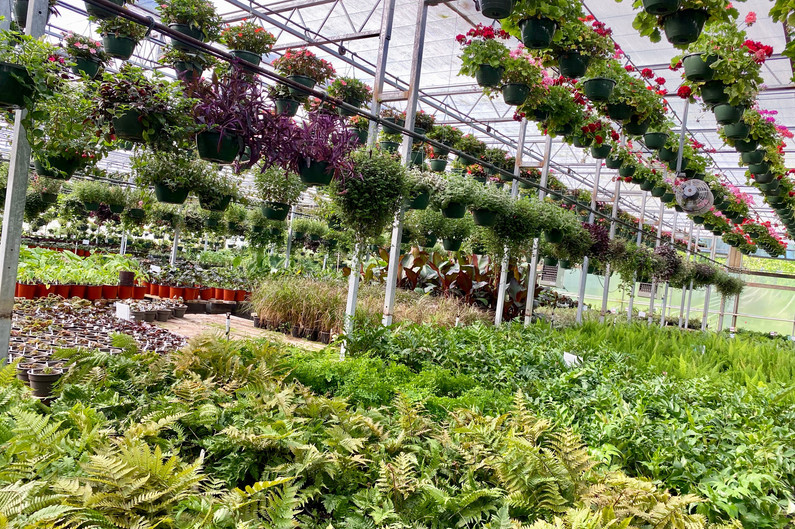 A wide selection of lovely perennial ferns & heuchera for shade