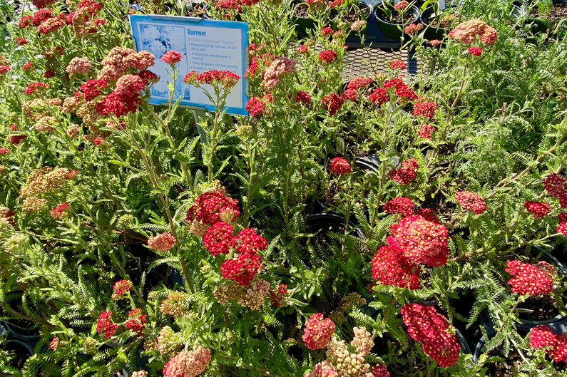 Many varieties of yarrow!