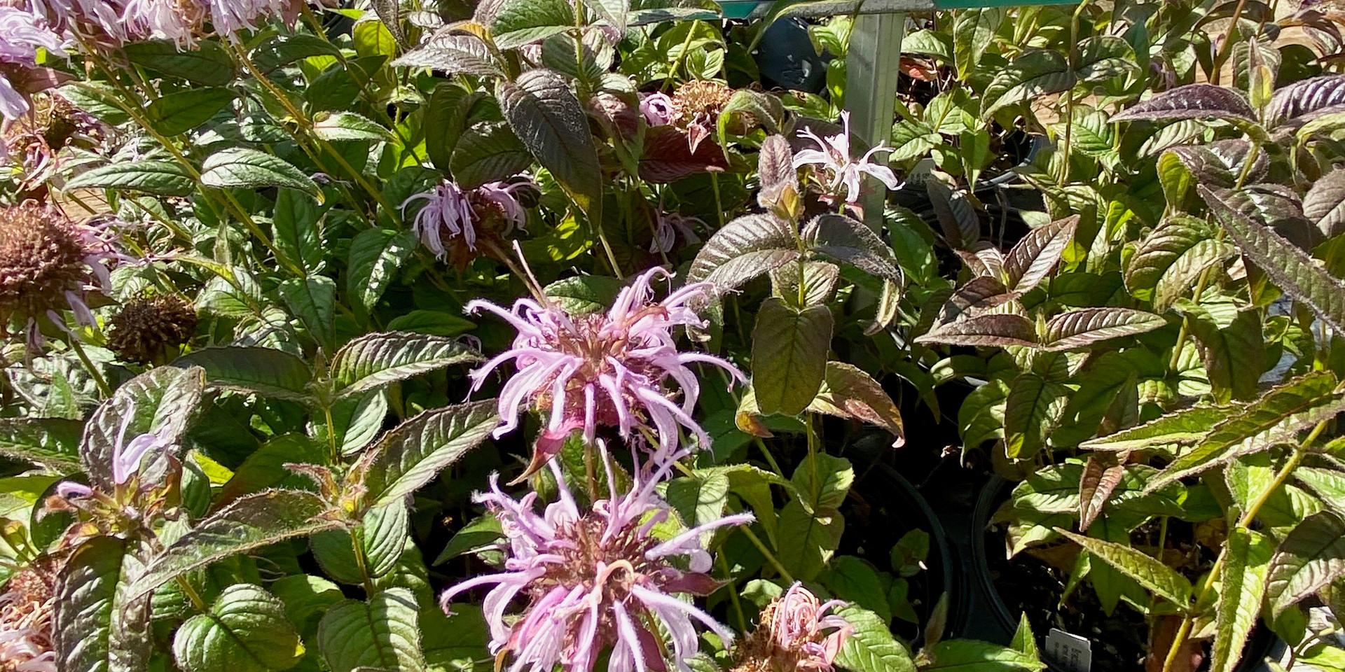 We have 5+ varieties of beautiful Bee Balm for your pollinators!